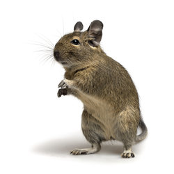 closeup of degu pet in standing pose isolated on white